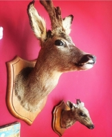 Taxidermy deer head Prop Hire from The Props List